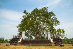 Bodhi tree. Royalty Free Stock Photo