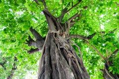 Bodhi tree. Royalty Free Stock Photos