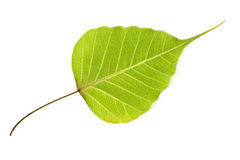 Bodhi tree leaf Royalty Free Stock Photo
