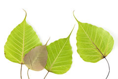 Bodhi tree leaf Stock Image