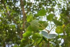 Bodhi Tree leaf background. And bokeh Royalty Free Stock Images