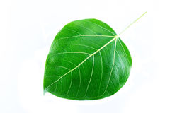 Bodhi tree leaf. Isolated on white background Stock Images