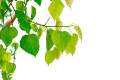 Bodhi tree leaves green white background royalty free stock image