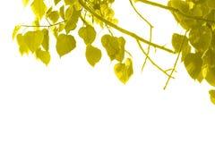 Bodhi tree leaves golden white background stock photos