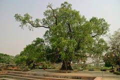 Bodhi tree in Lumbini (Buddha's birthplace) Royalty Free Stock Photo