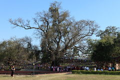 Bodhi tree in Lumbini Buddha's birthplace Stock Image