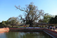 Bodhi tree in Lumbini Buddha's birthplace Royalty Free Stock Images
