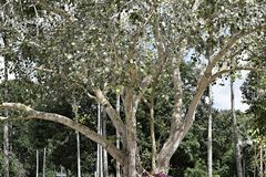 Bodhi Tree. One of the Bodhi Tree tree with silver Stock Photography