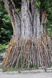 Bodhi tree pole support Stock Photos