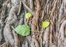 Bodhi tree root. Background,Sacred Fig Tree, Pipal Tree Stock Photo