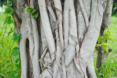 Bodhi tree root background,Sacred Fig Tree, Pipal Tree. Bodhi tree root background,Sacred Fig Tree Royalty Free Stock Photo