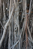Bodhi tree root. Bodhi tree root photo Royalty Free Stock Image