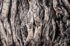 Bodhi Tree root Royalty Free Stock Image