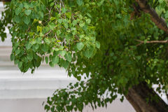 Bodhi Tree Stock Photos