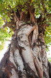 Bodhi tree Royalty Free Stock Images