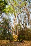 Bodhi Tree Royalty Free Stock Photo