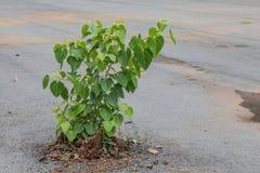 Bodhiboom dat weigert te sterven Stock Fotografie