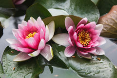Bodhisattva's flower lotus. Beauty Pink petals. Summer stock image
