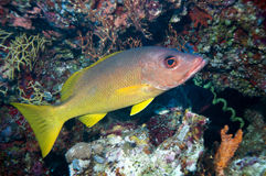 Bodianus dictynna - Redfinhohfish Royaltyfri Fotografi