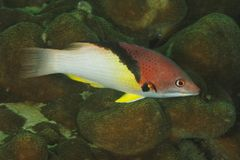 Bodianus mesothorax - Andaman Sea Royalty Free Stock Photos