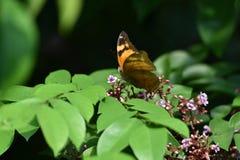 Bodied brązów skrzydła i motyle zdjęcie stock