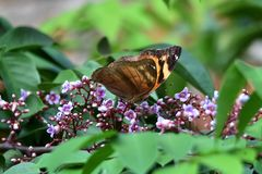 Bodied butterflies and brown wings stock photos