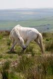 Bodmin moor cornwall england uk pony Stock Photos