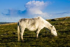 Bodmin Moor Cornwall Pony Stock Images