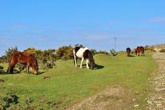 Bodmin Moor ponies grazing Royalty Free Stock Images