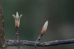 Bodnant荚莲属的植物芽 库存照片