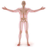 Body Royalty Free Stock Image