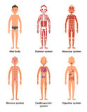 Body anatomy of men. Nerves and muscular systems, heart and other organs. Vector illustration set Royalty Free Stock Photography