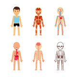Body anatomy vector Stock Photography