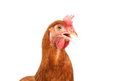 Body of brown chicken hen standing isolated white background use stock images