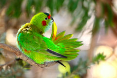 Body-care. Portrait of a purple crowned lorikeet (glossopsitta porphyrocephala stock photography