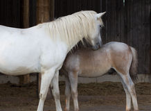 Body care. One of the best stallion from Bavaria is maintained by the mother Stock Photo