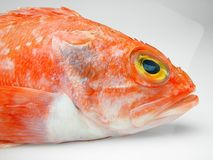 Head of fresh scorpionfish on white background. stock image