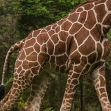 Body of Giraffe. The torso of a male giraffe highlights the spots of its coat stock images