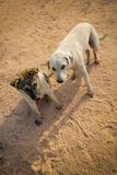 Body guard. 2 dogs in farm thailand Stock Photography