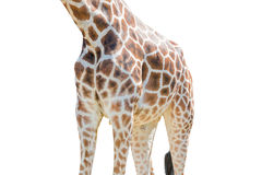 Body half of Giraffe isolated on white background. Royalty Free Stock Photos