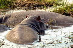 Body of Hippopotamus royalty free stock images