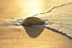 Jellyfish washed on the sand beach. Body of Jellyfish washed ashore at dawn, Monte Gordo beach Algarve Southern Portugal Europe royalty free stock photos