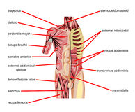Body muscles. A detailed illustration of the muscles of the human body with parts Royalty Free Stock Images