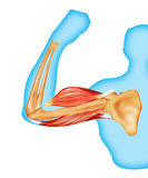 Body muscles and bone  Royalty Free Stock Image