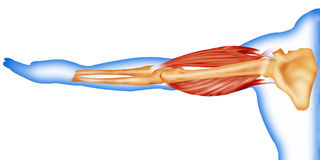 Body muscles and bone stock illustration
