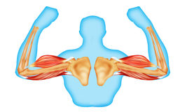 Body muscles and bone Stock Photography