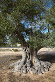 Body of old olive tree. And blue sky Stock Photography