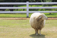 Body part of sheep face standing on green grass field in ranch f Stock Image