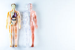 Body part. Vision of human organs in the human model stock image