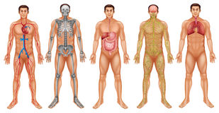 Body systems. Chart of human body system Stock Image
